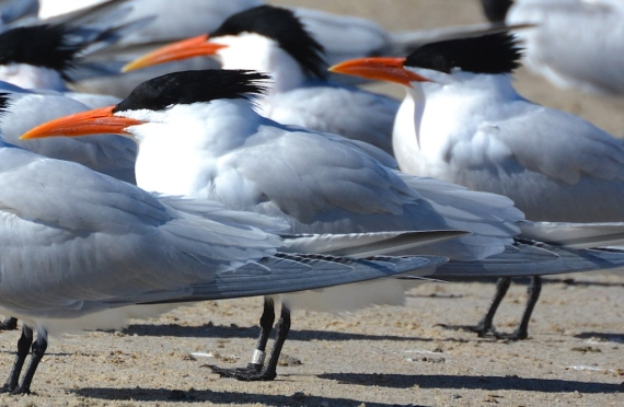 Ringed Royal Tern (G. Murayama 3/24/16)