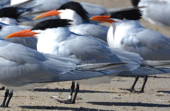 Ringed Royal Tern (G. Murayama 3/24/16)