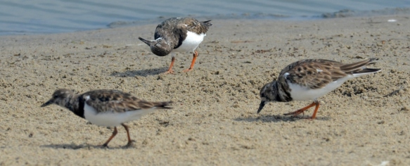 Ruddy Turnstone getting another angle on it (Larry Loeher 2-28-16)