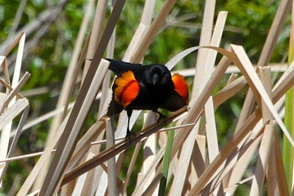 Male Red-winged Blackbird at Century Lake displays his epaulets (J. Waterman 4-2-16)