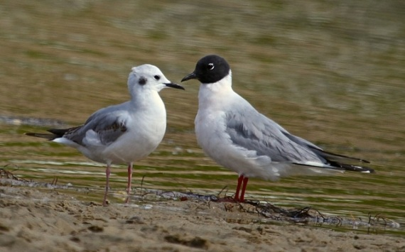 Bonaparte's Gull - basic & alternate plumages (J. Waterman 4/24/16)