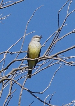 Western Kingbird (J. Waterman 4-2-16)