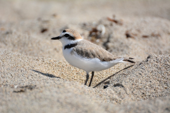 The last Snowy Plover of Springtime (G. Murayama 4/13/16)