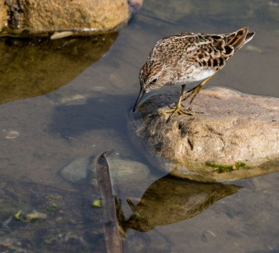Least Sandpiper, like Narcissus, admires his reflection (C. Bragg 4/24/16)