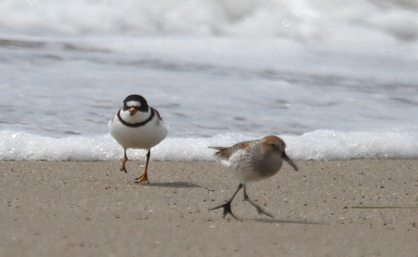 Somehow the semipalmated foot moved from the Semipalmated Plover to the Western Sandpiper (J. Waterman 4/24/16)