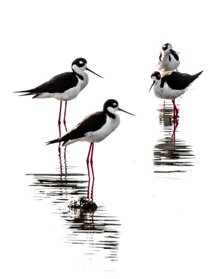 Black-necked Stilts, a study (R. Juncosa 4/24/16)