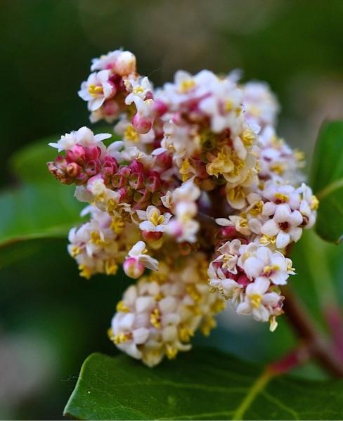 Sugar Bush blossom head (D. Waterman 4-2-16)