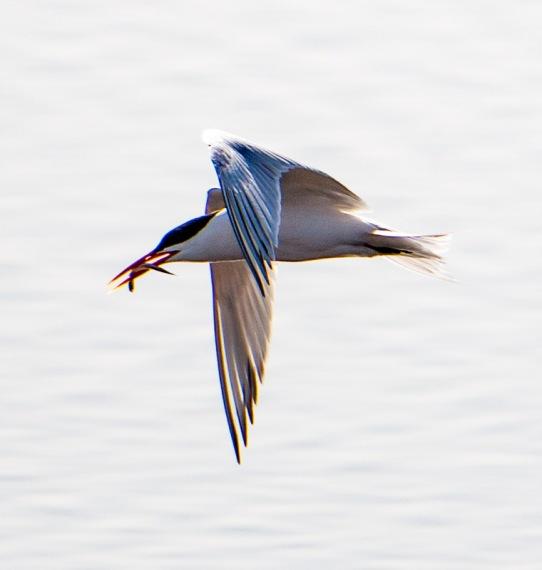 Lucky tern, unlucky fish (R. Juncosa 4/24/16)