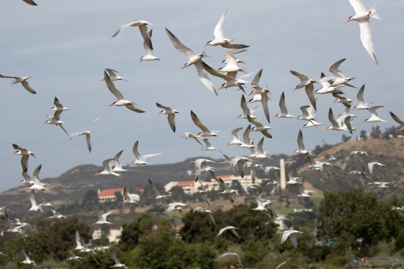 Elegant Terns in flight, Pepperdine University in distance (R. Ehler 4/24/16)