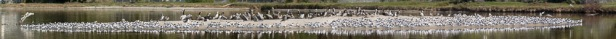 Thirteen photos were stitched together to make this panorama of Elegant Terns (C. Bragg 4/24/16)