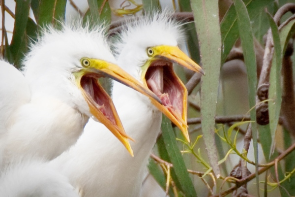 Ardea_alba_chicks,_Morro_Bay_Heron_Rookery_-_by_Mike_Baird.jpg