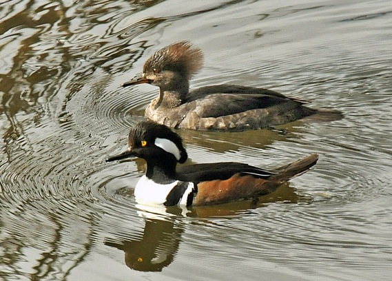 Hooded Merganser pair, sexually dimorphic (J.Kenney 2-17-11)