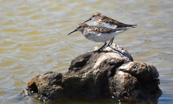 Western Sandpiper pals, back from the north (G. Murayama 6-15-16)