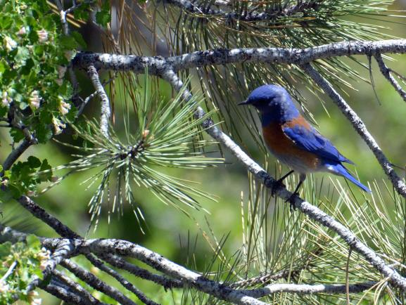 Male Western Bluebird (Read Howarth 6-11-16)
