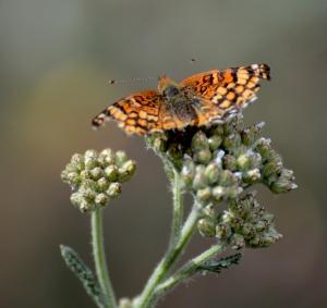 Butterfly (Grace Murayama 6-11-16)