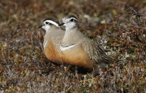 Eurasian Dotteral female & male, sexual dimorphism reversed (Killan Mullarney Kaunispaa, Norway 5-27-16)
