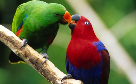 Eclectus Parrot pair, sexual dimorphism reversal (Papagoi Keskus, Erispapagoi)