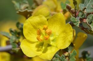 California Fremontia, Fremontodendron californicum (Larry Loeher 6-11-16)