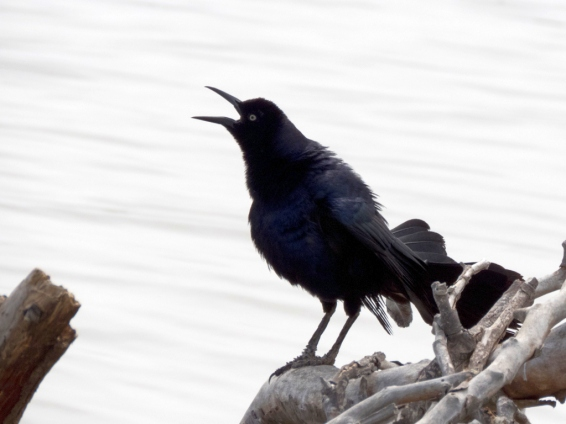 Male Great-tailed Grackle, protesting loudly (R. Ehlers 6-26-16)