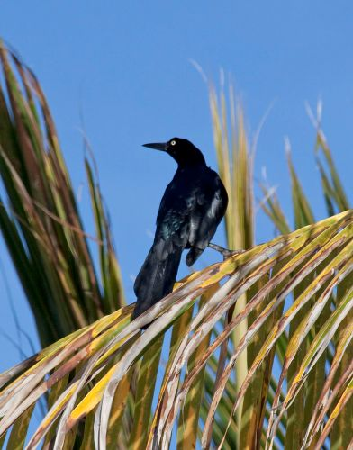 Great-tailed_Grackle_2_(4356391472).jpg