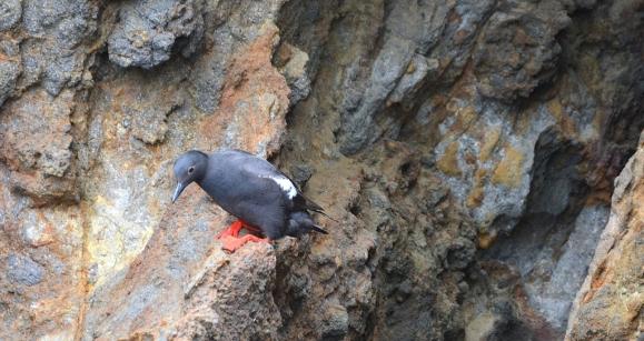 Pigeon Guillemot (G. Murayama 6-14-16)