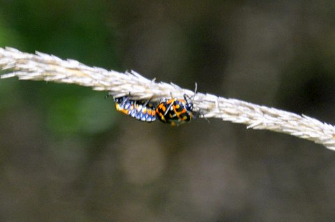 Harlequin Cabbage Bug (A. Douglas 6-26-16)