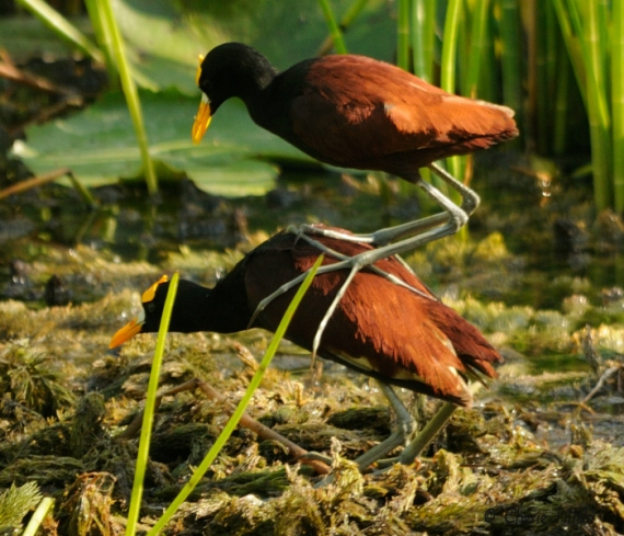 Female Northern Jacana is % heavier than the male (Cherie Pittillo in Yucatan Times)