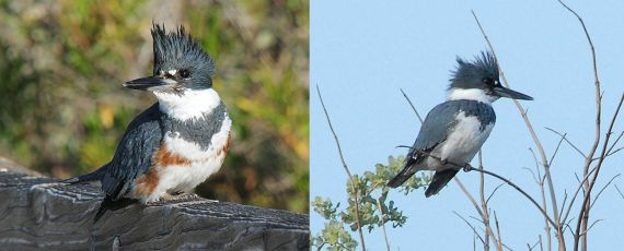 Belted Kingfisher female and male (J.Kenney F 3-10-10, M 1-10-07)