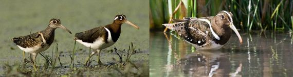Painted-Snipes Left: Greater has reversed sexual dimorphism (Anwar Khan); Right: monomorphic South American (Caston Cassus)