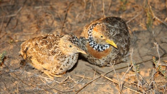 Plains-Wanderer pair male & female, sexual dimorphism reversal (David Baker-Gabb, in Melbourne Herald Sun Nov 16, 2012)
