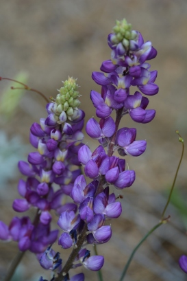 Purple Lupine Lupinus sp. (Grace Murayama 6-11-16)