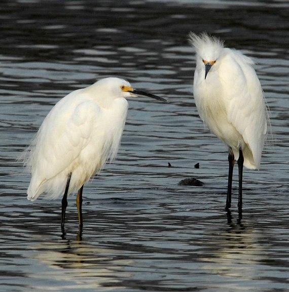 Snowy Egrets, sexually monomorphic (Jim Kenney, Malibu Lagoon, CA Nov 2006