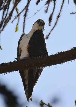 The glare of the Osprey (G. Murayama 7-24-16)