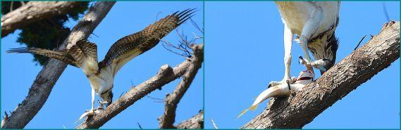 Osprey & fish, a closeup (G. Murayama 7-24-16)