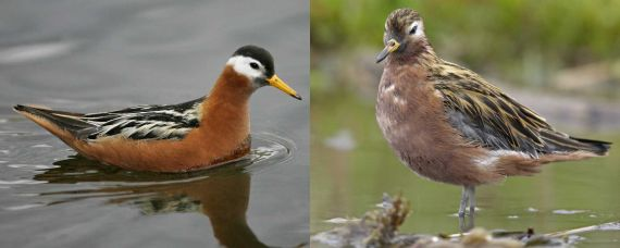 Red Phalarope, sexual dimorphism reversal; female left (Joe Fuhrman - Vireo), male right (Garth McElroy - Vireo) both from Audubon