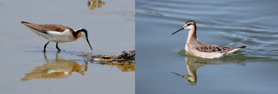 Wilson's Phalarope, female left male right (Grace Murayama Malibu Lagoon Ca 6-8-16; Jason Crotty Redwood City May 2012)