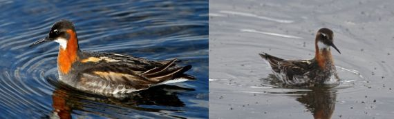 Red-necked Phalarope female & male, Lake Myvatn, Iceland (Joyce Waterman)