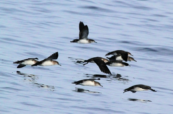 Black-vented Shearwaters off San Diego (Brad Weinert & Lynn Ferguson-Weinert 10-6-12)