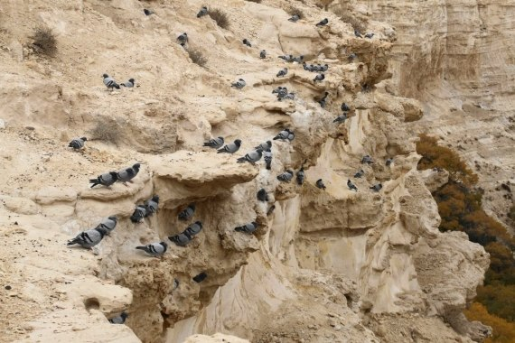 Rock Pigeons on cliff in Israel (Igor Svobodin)