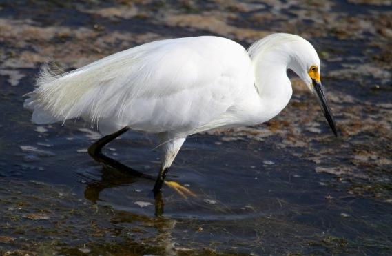 Snowy Egret (Joyce Waterman 8-28-16)