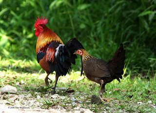 Red Junglefowl pair in forest (John Ascher)