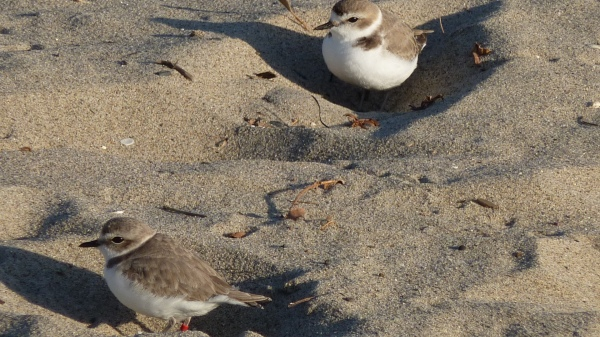 Western Snowy Plovers on Santa Monica Beach. L.Plauzoles 2014