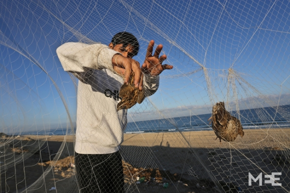 Common Quail netted in Gaza