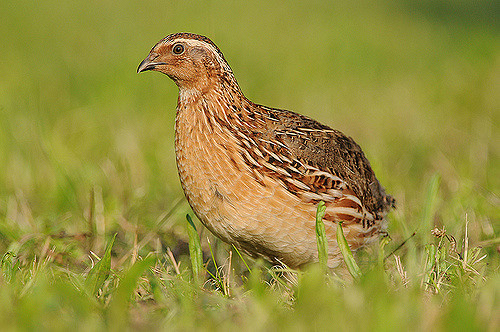 Common or European Quail (Jan Svetik)