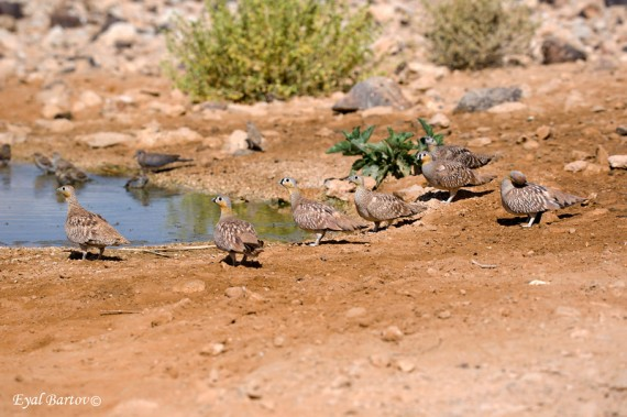 Crowned Sandgrouse flock at pool in Israel (Eyal Bartov)