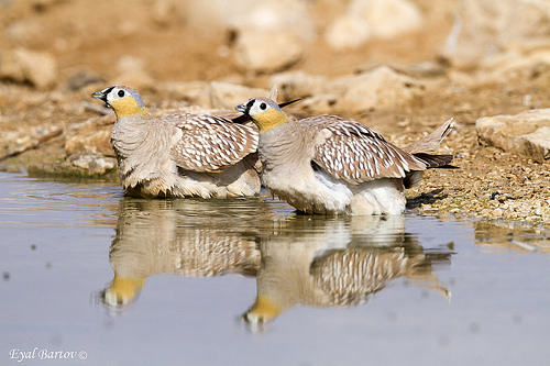 Crowned Sandgrouse wetting their breast feathers (HotpostBirding.com)
