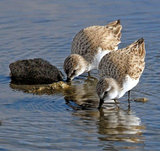 For comparison - Baird's pair. Malibu Lagoon (Jim Kenney 2-10-07)