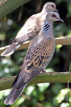 European Turtle-Dove (Wikipedia)