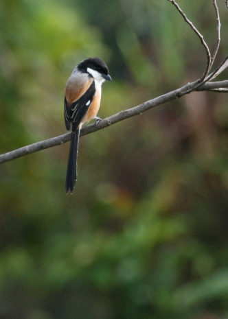Long-tailed Shrike, Ambua Lodge, Papua New Guinea highlands (Chuck Almdale, August 2008)