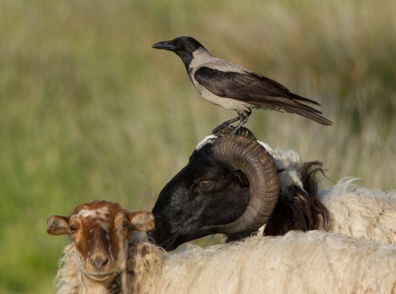 Hooded Crow on sheep's head (Jamie MacArthur, DeviantArt.com)